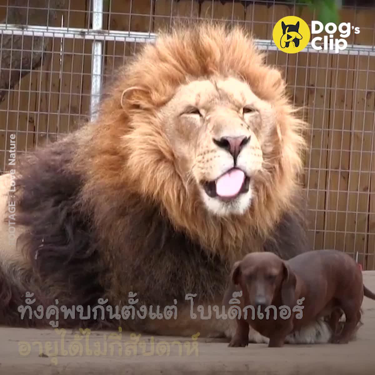 มิตรภาพไม่จำกัดสายพันธุ์ เมื่อน้องหมาเป็นเพื่อนซี้กับสิงโต