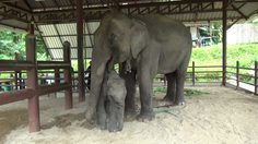 พลังแห่งรัก! แม่ช้างกระชากโซ่ขาด พังคอกรั้วเหล็กออกตามลูก