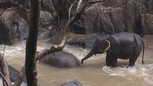 ทีมสัตวแพทย์เฝ้าระวังอาการ 2 ช้างป่า ตกเหวนรก มีอาการอ่อนเพลีย