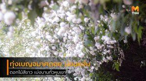 ทุ่งเบญจมาศดอย ดอกไม้สีขาว เบ่งบานสวย ที่ม่อนแจ่ม