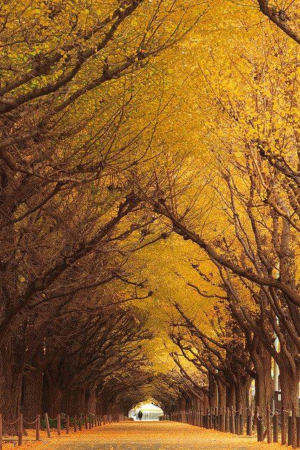 ginkgo-tree-tunnel-japan