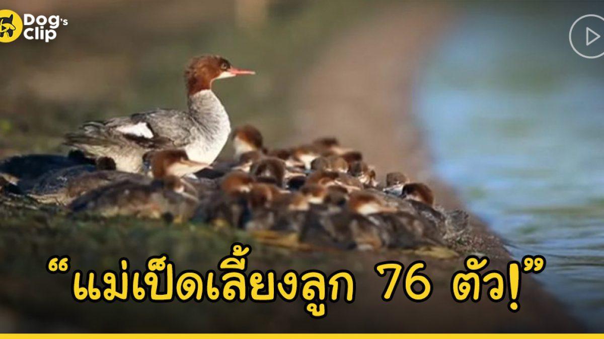 สุดยอดคุณแม่! แม่เป็ดเลี้ยงลูกน้อยพร้อมกันถึง 76 ตัว
