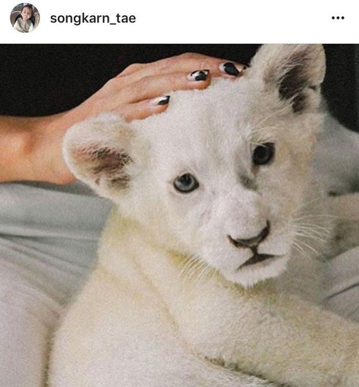 มือผู้หญิงลูบหัวเสือขาว ภาพที่สงกรานต์โพสต์ลงอินสตาแกรม