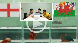 ซี้ซั้วฟันธง! ปลากัดทายผล ยูโร 2016 อังกฤษ ปะทะ เวลส์ (16 มิ.ย.)