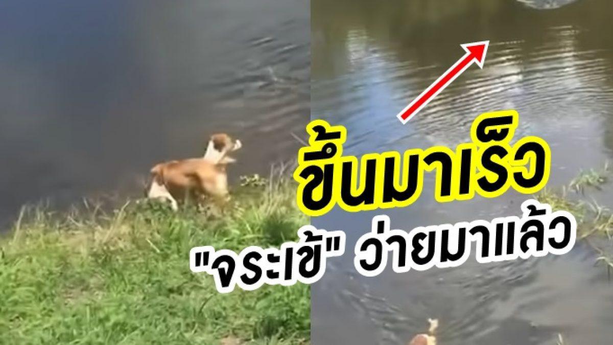 เสียงเรียกไม่ช่วยอะไร! นาที หมาขี้สงสัย ลงเล่นน้ำ Vs จระเข้ตัวเบ้ง รอเขมือบ