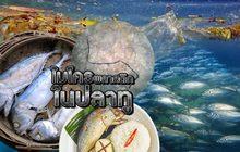 ไมโครพลาสติกในปลาทู 11-09-62