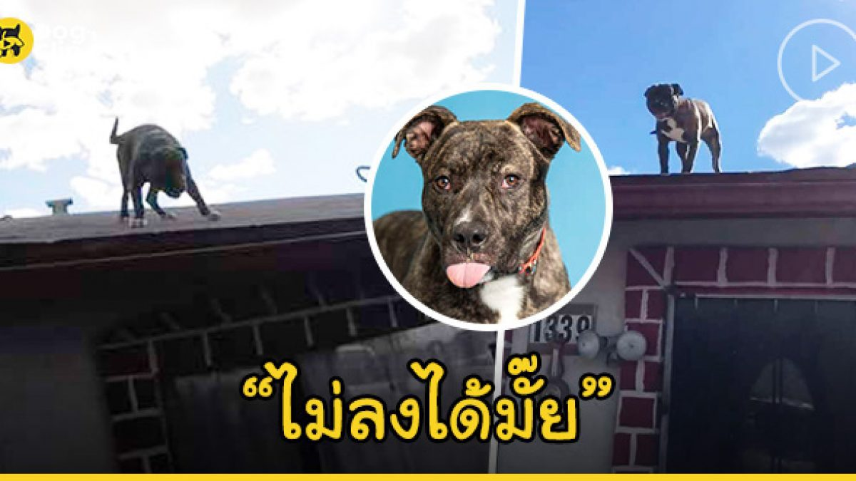 พิตบูลจรจัดติดอยู่บนหลังคา เพื่อนบ้านสะดุ้งเร่งแจ้งกู้ภัย เจ้าหน้าที่แปลกใจน้องหมาชอบอยู่บนนั้น