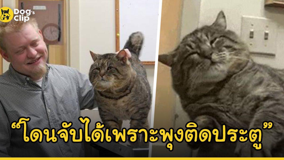 แมวอ้วนนักย่องเบาพุงติดจนถูกจับได้ หลังย่องกินอาหารเม็ดน้องหมาอิ่มจนพุงปลิ้น