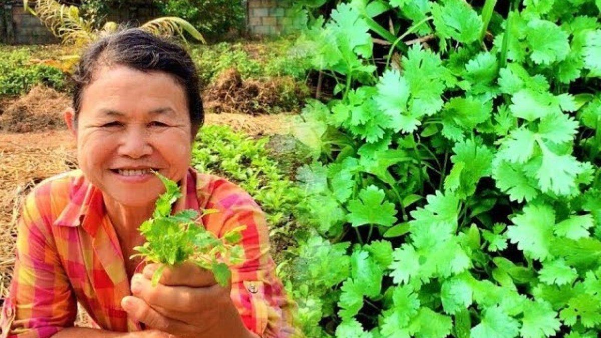 วิธีปลูกผักชี / How to grow Coriander / 如何种植香菜