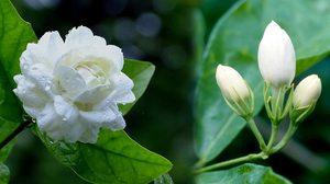 สรรพคุณดอกมะลิ ไหว้แม่แล้ว มารู้จักสรรพคุณดีช่วยบำรุงหัวใจ ที่ใช้กันกว่า 100 ปี