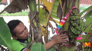 ฮือฮา! พบต้นกล้วยประหลาด ออกลูกข้างลำต้น ชาวบ้านแห่ตีเลขเด็ด