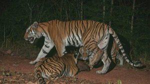 สุดยอด!!  เสือโคร่งเพิ่มขึ้น ที่ป่าดงพญาเย็น-เขาใหญ่