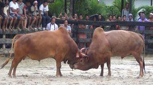 ศึกประวัติศาสตร์! วัวจีนชนะวัวไทยซิวเดิมพัน 8 ล้านบาท