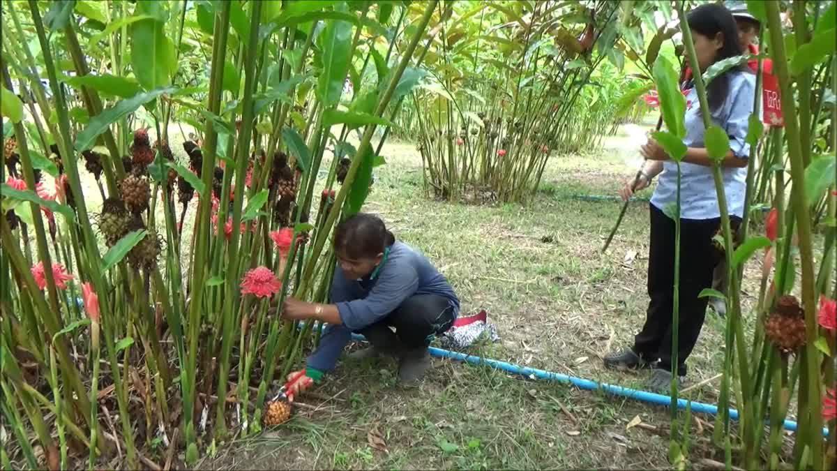 ดอกดาหลาหลากสี พืชเศรษฐกิจตัวใหม่ตัดขายได้ตลอดปี สร้างรายได้งาม