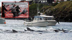 ทะเลเปลี่ยนเป็นสีแดงด้วยเลือดของ วาฬ และ ปลาโลมา ตามประเพณีดั่งเดิมในหมู่เกาะแฟโร