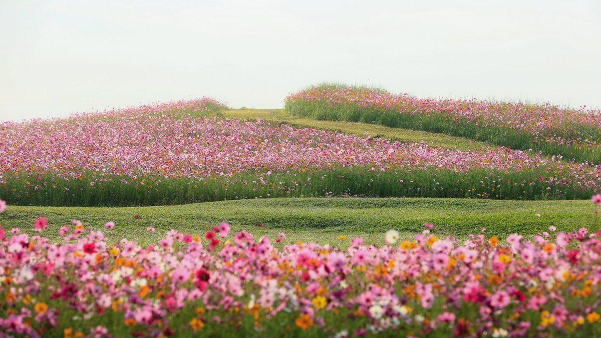 กำลังสวยบานสะพรั่ง สวนดอกไม้ใน สิงห์ปาร์ค เชียงราย