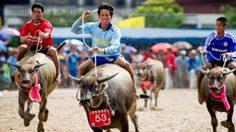 เที่ยวงานประเพณีวิ่งควาย ครั้งที่ 143 ประจำปี 2557