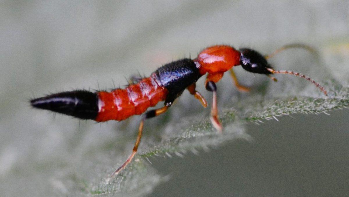 ระวัง! แมลงก้นกระดก ที่มากับฝน มีพิษทำลายเนื้อเยื่อผิวหนังของผู้ที่สัมผัส