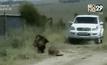 สิงโตหลุดจากอุทยาน ไล่กัดคนในเคนยา