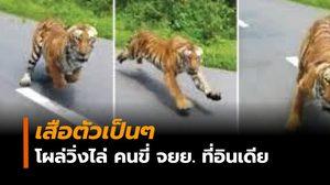 หวาดเสียว! เสือตัวเป็นๆ โผล่จากป่าไล่กวดหนุ่มขี่ จยย.
