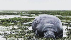 พิษ!! เฮอริเคนเออร์มา พัดพะยูนเกยตื้นที่สหรัฐ  – ดูดน้ำทะเลจนแห้งเหือด
