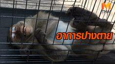 ลิงแสมออกจากป่า หาอาหารในเมือง โชคร้าย! ถูกรถชนอาการปางตาย