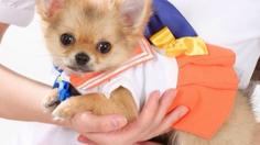 Cosplay Sailor Moon สำหรับน้องหมาสุดน่ารัก