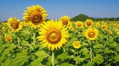ทุ่งทานตะวัน บ้านภาสลอง จ.ลพบุรี บานแฉ่งสู้แสงอาทิตย์ ในฤดูหนาว