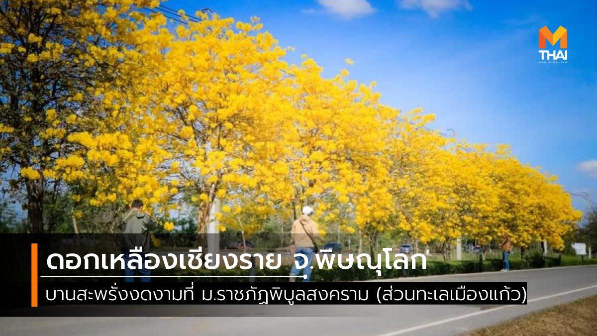 ดอกเหลืองเชียงราย บานสะพรั่งที่ ม.ราชภัฏพิบูลสงคราม จ.พิษณุโลก
