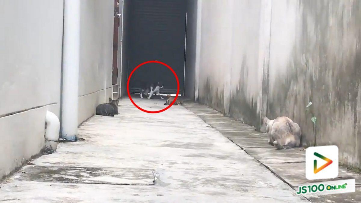 วิชาเอาตัวรอดของแมว เมื่อเจอเจ้าถิ่น!! (4-5-61)