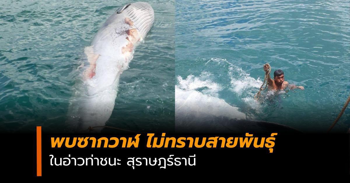 สะเทือนใจ! พบซากวาฬไม่ทราบสายพันธุ์ ในอ่าวท่าชนะ