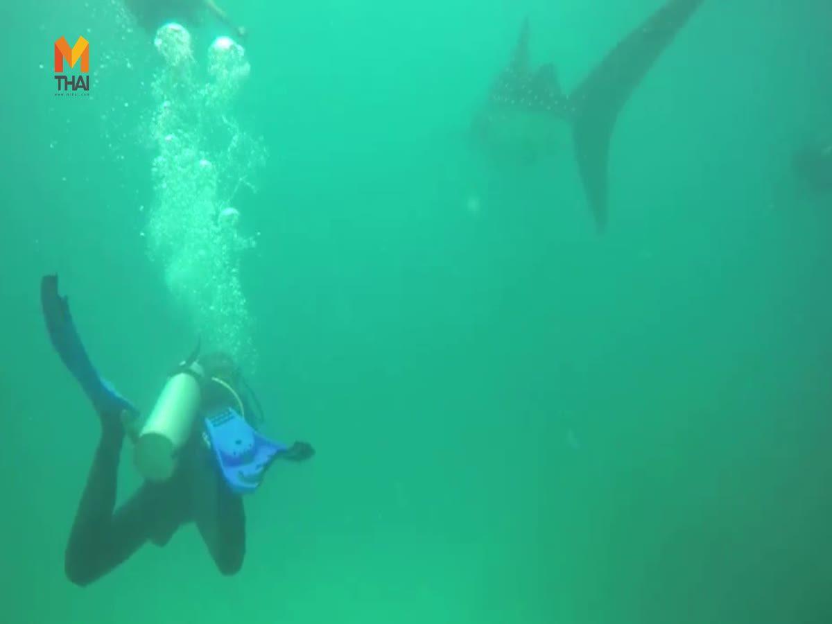 ตื่นตาฉลามวาฬ โผล่ว่ายน้ำทะลไทย แถบเกาะพีพี