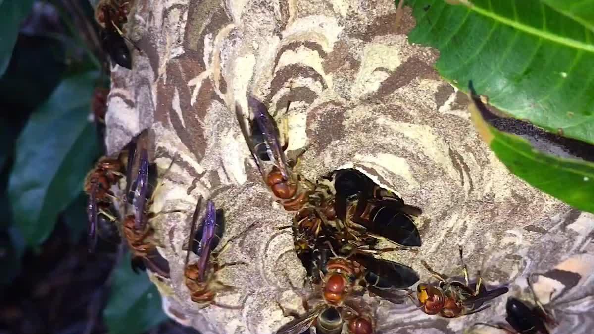 ดูรังต่อแบบใกล้ๆ : See the Wasps up close and clear.