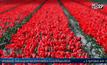 3 ก.พ. 2180 สิ้นสุดกระแสคลั่งทิวลิปในเนเธอร์แลนด์