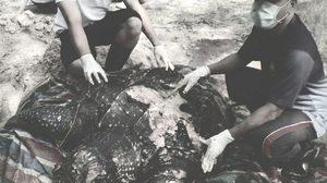 สลด! พบซากเต่ามะเฟืองหนัก 200 กก. ชายฝั่งขนอม ผ่าเจอถุงพลาสติกในลำไส้
