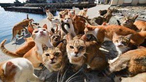'เกาะแมว' หายห่วง!! รัฐบาลญี่ปุ่นส่ง จนท.ต้อนฝูงแมวเข้าที่ปลอดภัยแล้ว