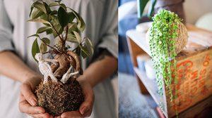 รู้จัก Kokedama เทรนด์ ปลูกต้นไม้ สไตล์ญี่ปุ่น สุดคิ้วท์