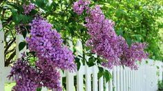 วิธีปลูก ไลแลค ดอกไม้พุ่มสีม่วงแสนหวานแต่งบ้านสวย