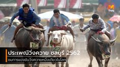 ประเพณีวิ่งควาย จ.ชลบุรี 2562 ชมควายวิ่งแข่งหนึ่งเดียวในโลก