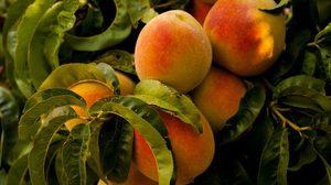 ลูกท้อ (Peach) ผลไม้มงคล