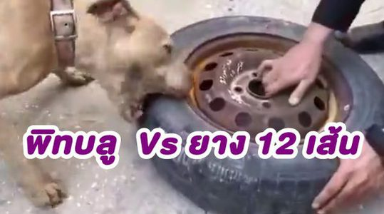พลังกัดเหลือๆ! เมื่อ สุนัขพิทบลู Vs ยางรถ 12 เส้น จะมีสภาพเป็นไง