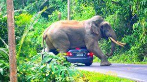หวาดเสียว!  ช้างป่าทับรถเก๋ง จนหลังคายุบ ที่เขาใหญ่
