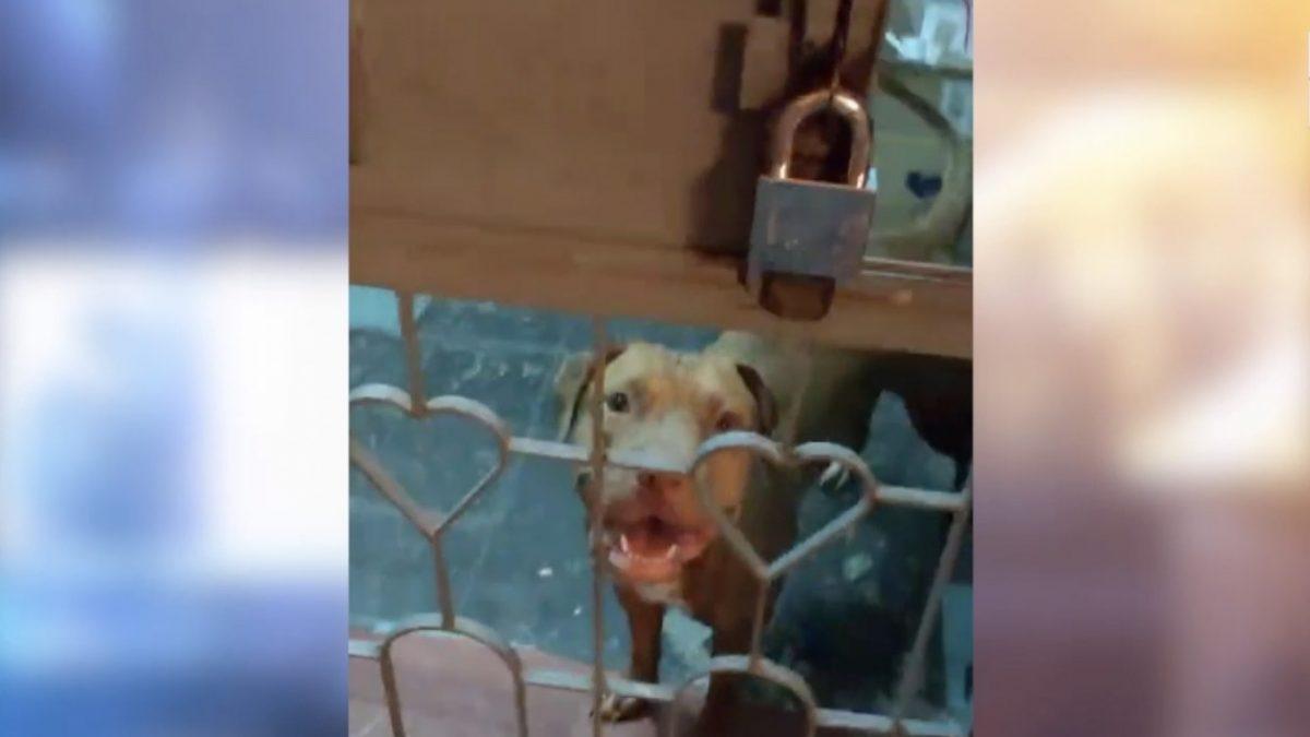 ผวา! ปล่อยสุนัขอเมริกันพิทบลูวิ่งเล่นในคอนโด