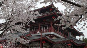 ซากุระ ผลิบานที่จีน สีชมพูทั่วแดนมังกร สวยสะพรั่งในฤดูใบไม้ผลิ