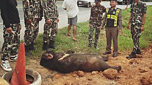 เศร้า!! หมีควายถูกรถชนตายบนถนน วอนคนเพิ่มความระมัดระวัง