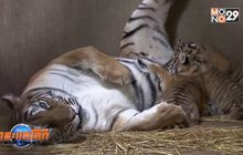 เสือโคร่งเบงกอลในจีนให้กำเนิดลูกแฝด 4