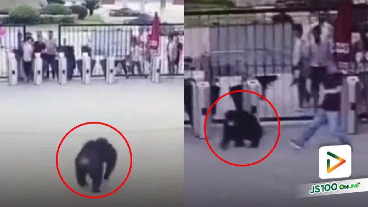 คลิปลิงชิมแปนซีหนีจากกรง เตะเจ้าหน้าที่สวนสัตว์ล้มกับพื้น ที่ประเทศจีน (19-07-62)