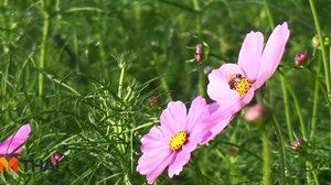 สวยงาม! ดอกคอสมอสกว่า 5 ล้านดอกเบ่งบานกลางทุ่งกว่า 30 ไร่