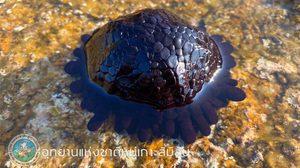 ตื่นตา! หอยเม่นหมวกกันน็อค สัตว์ทะเลหายาก โผล่ที่หมู่เกาะสิมิลัน
