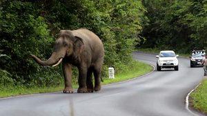 เตือน! ควรอยู่ห่าง-อย่าบีบแตรใส่ หากเจอช้างป่าเขาใหญ่ เหตุอยู่ในช่วงตกมัน